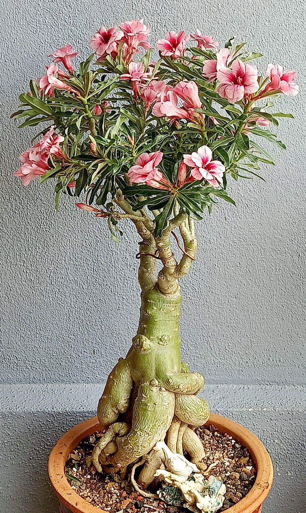 Pin de Cecilia Vidal em 美 em 2020 Rosa do deserto, Rosas