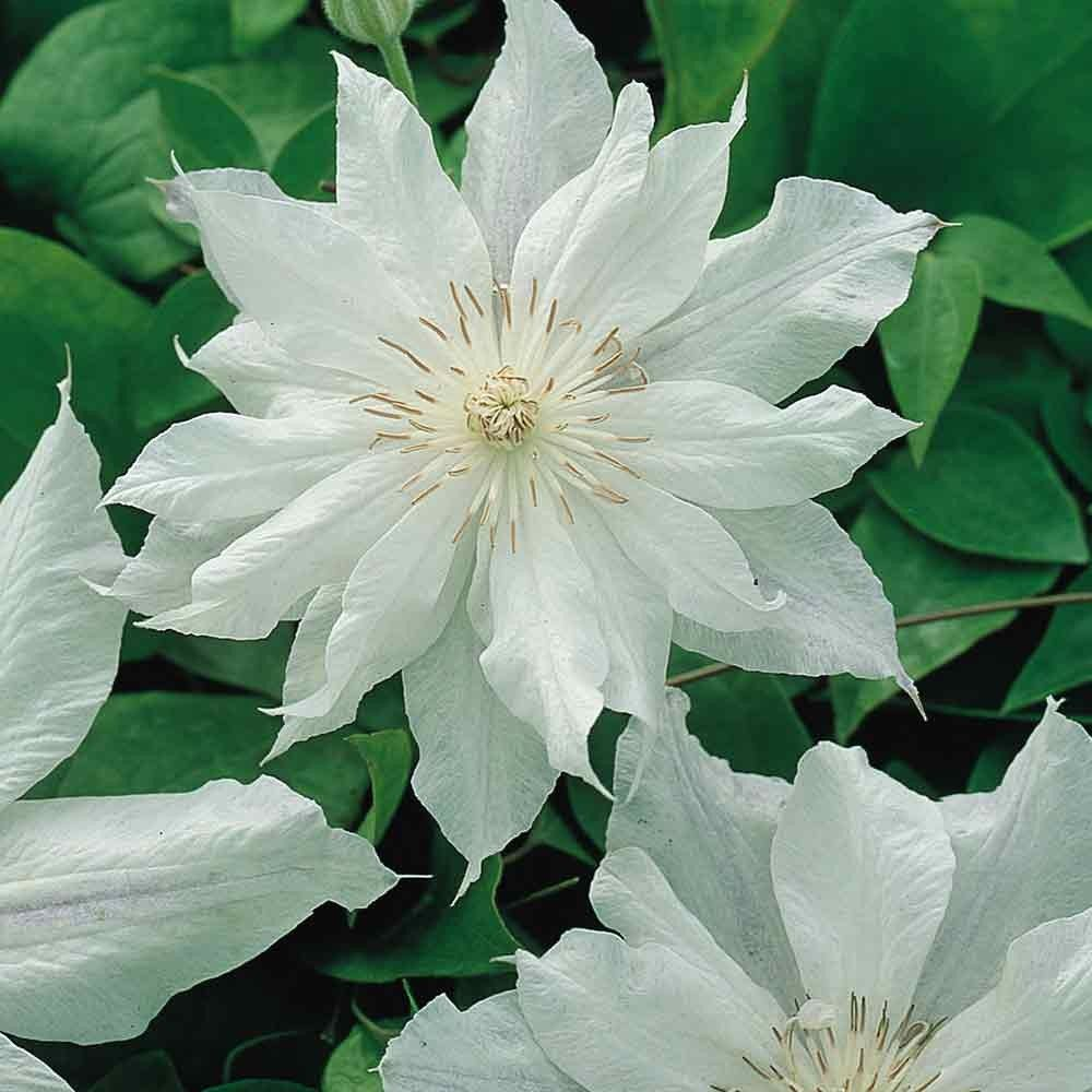 Shop Clematis Jackmanii Alba Plants At J Parker Dutch Bulbs Summer Flowering Climber With Pale Blooms Top Quality Clematis Jackmanii Clematis White Clematis