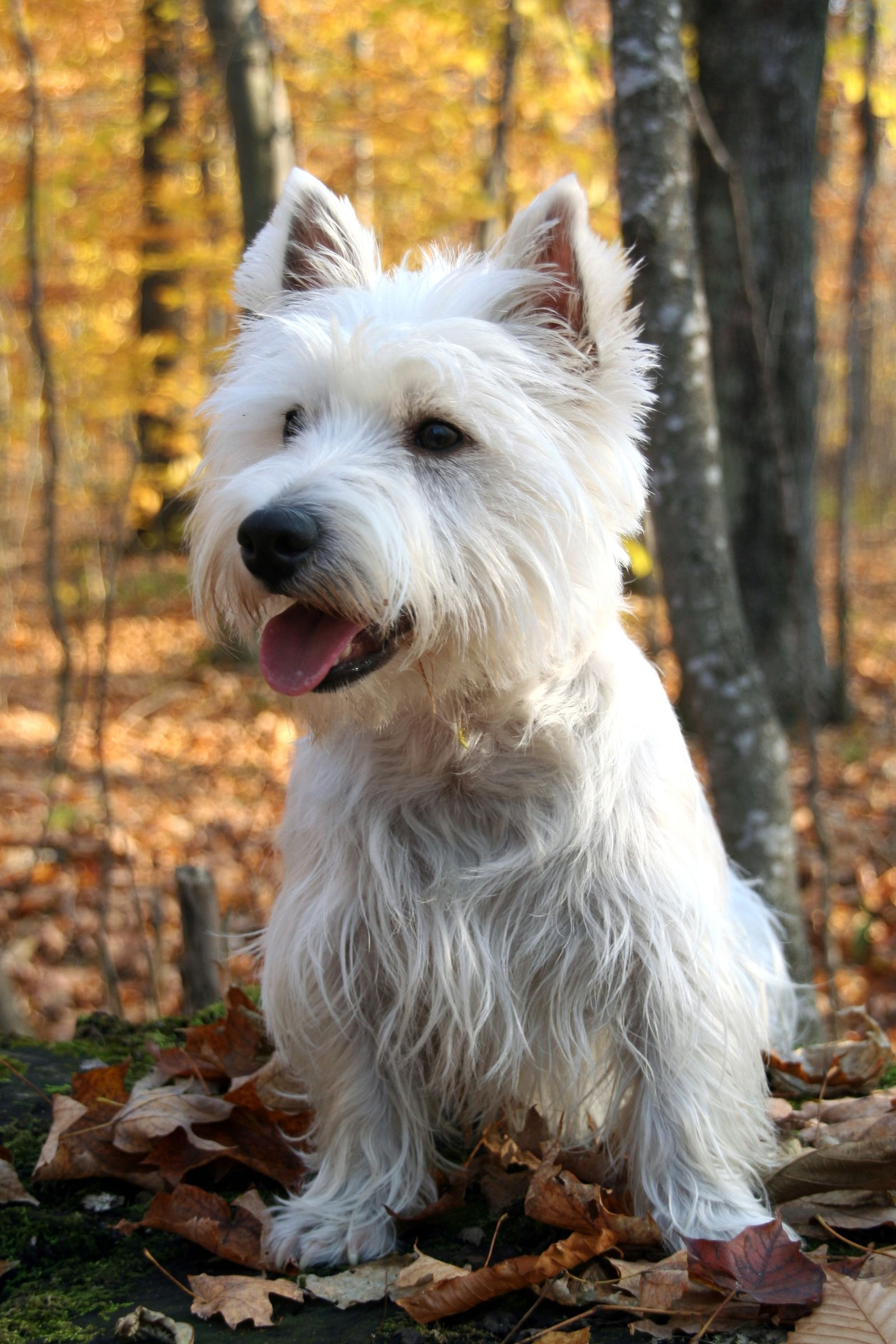 The 20 Cutest Dog Breeds That Don T Shed Westie Dogs Best Small