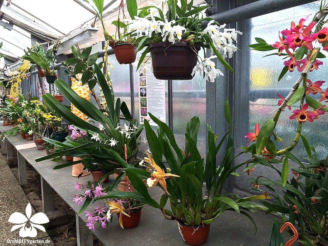 Orchids in our Orchid garden  #orchids #Orchidee #Orchideen #OrchIDEENgarten #orquídea #orquídeas #orchidées #orchidée #orchidej #orchideje #orkid #orkidéer #storczyki #storczyk #nature #naturelovers #iloveorchids #loveit #Blumen #colourful #colours #orchidacea #flowers #flower #best #love #pic #plant #garden #gardening