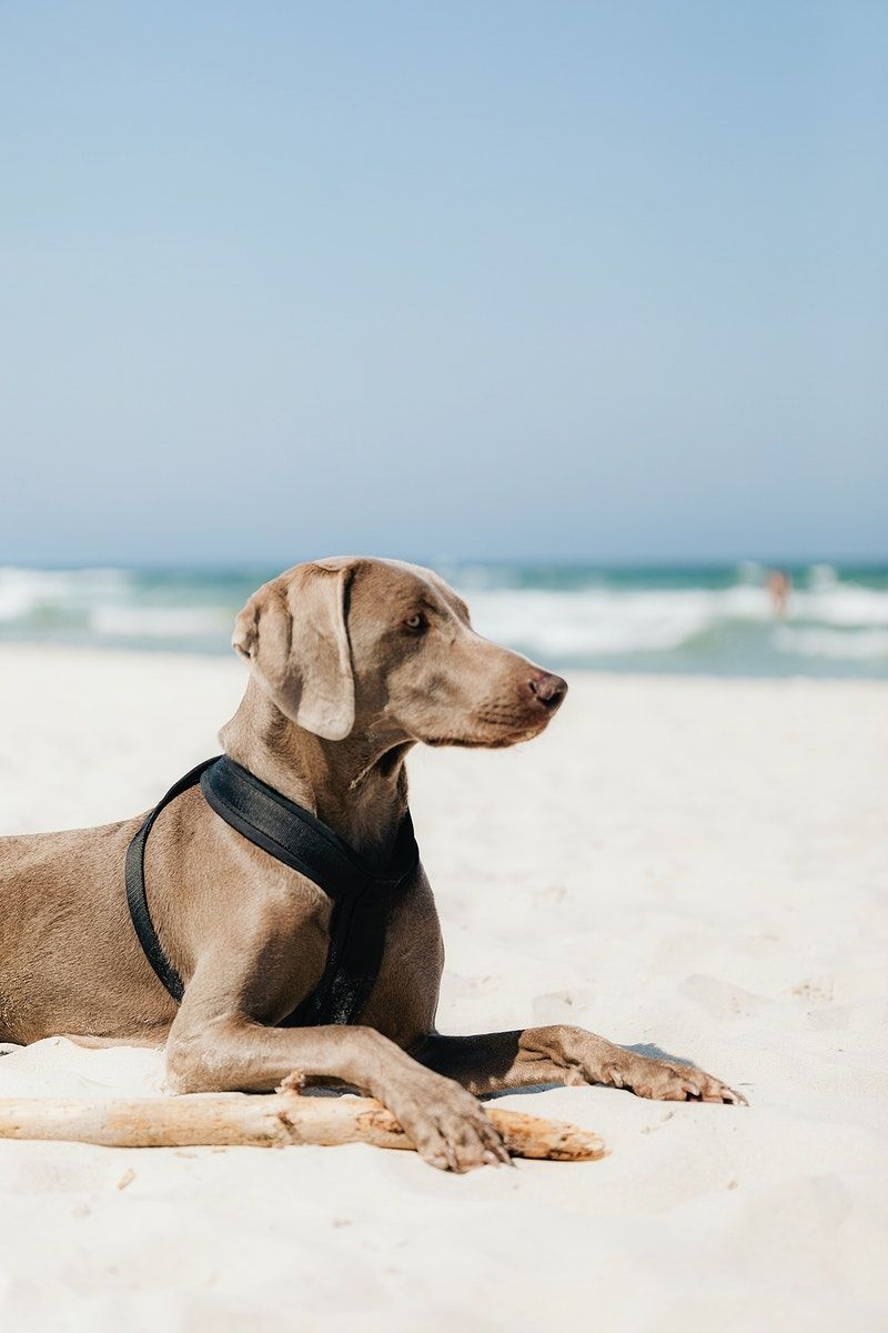 Weimaraner Dog Relaxing In The Sand At The Beach Free Image By Rawpixel Com Karolina Kaboompics Weimaraner Dogs Weimaraner Dog Beach