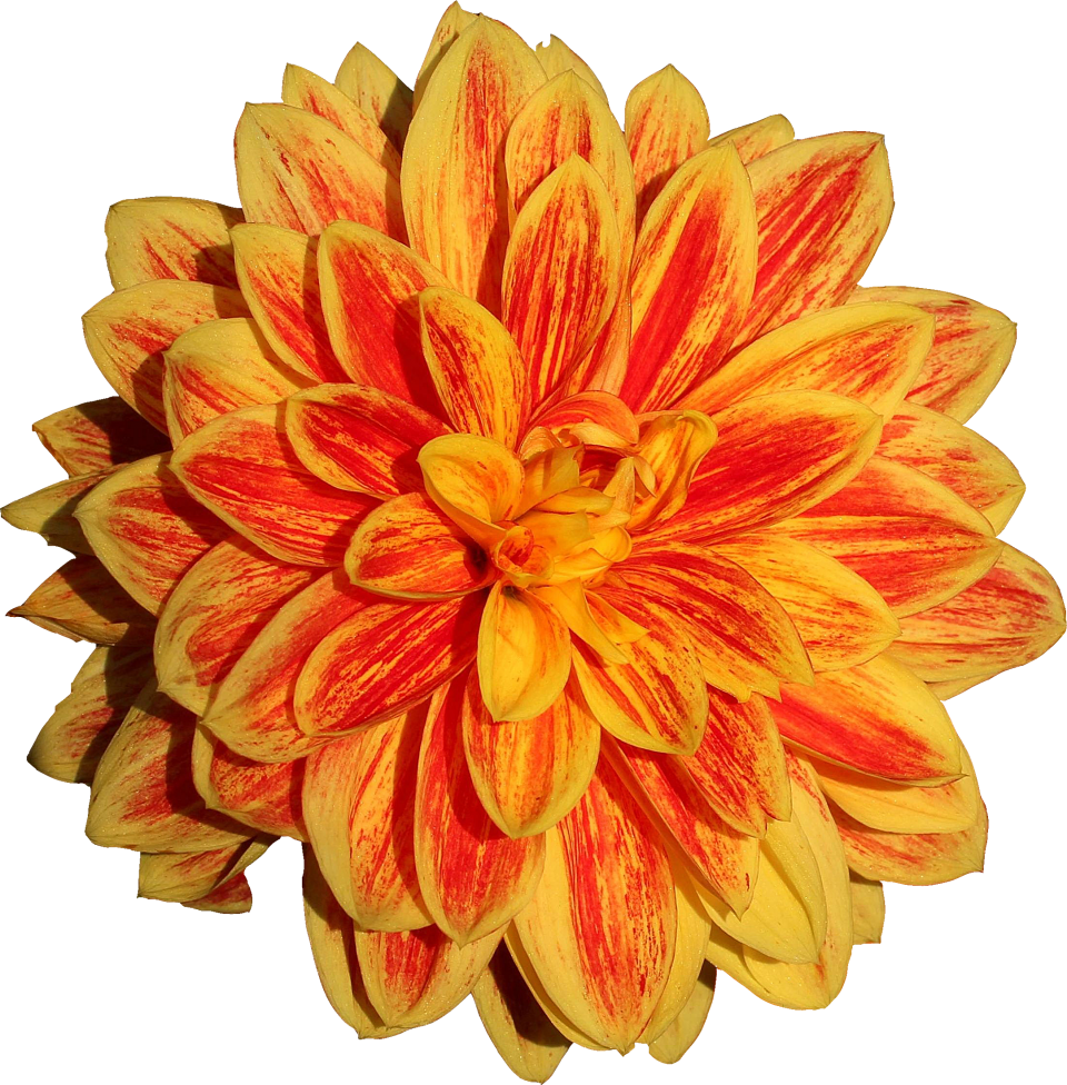 Dahlia Flower Png Image In 2020 Flower Png Images Dahlia Flower Flowers