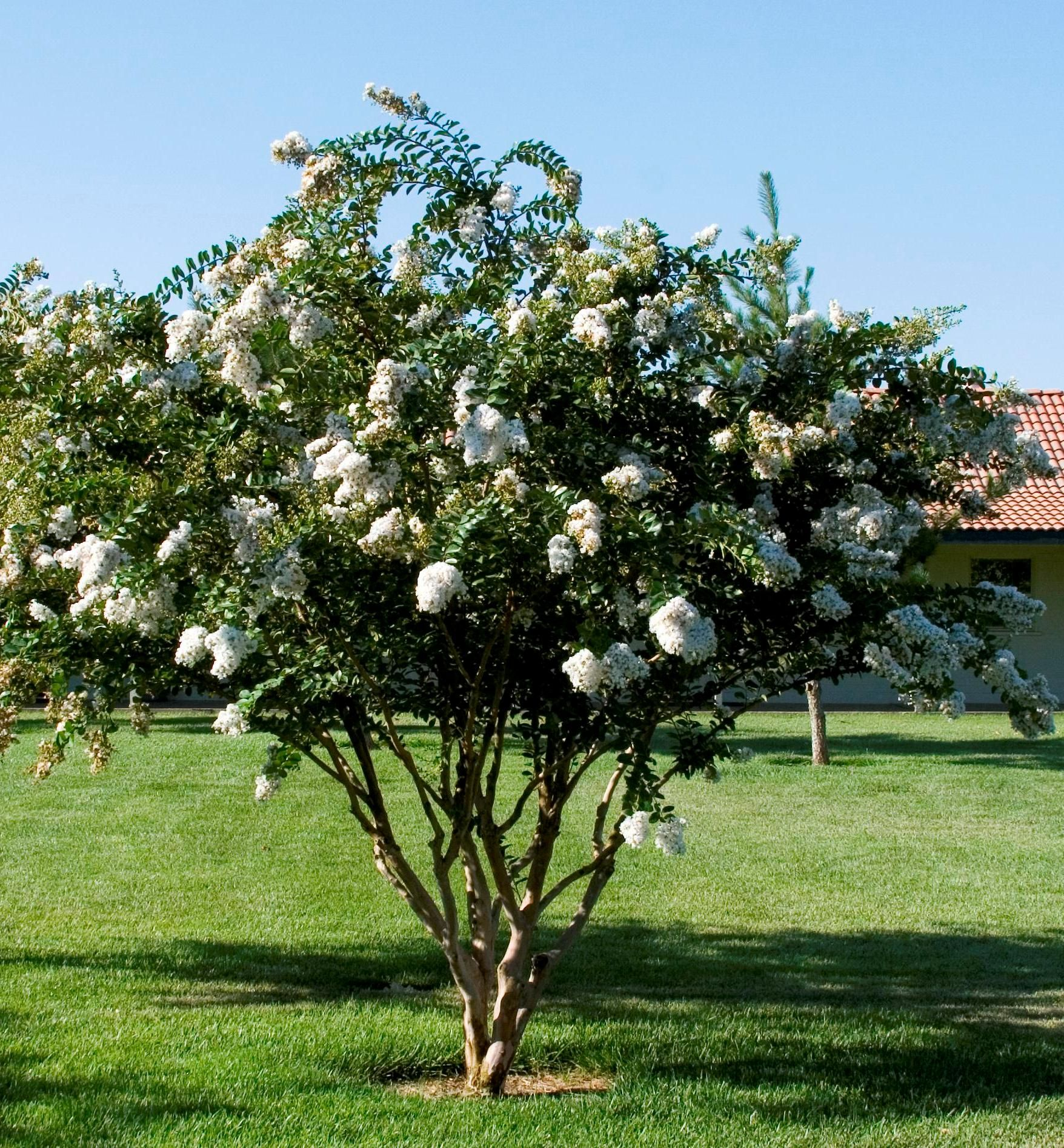 Acoma Crape Myrtle - Spectacular drooping clusters of pure white ...