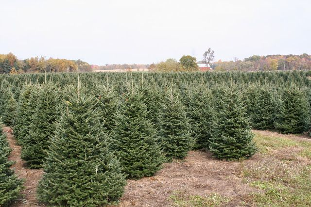 Pin On Christmas Tree Species