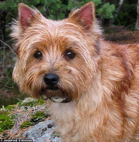 Cairn Terrier Red Cairn Terrier Terrier Puppies Terrier