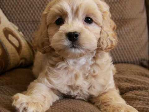 Only One Boy F1 Cockapoo Puppy Left Kidderminster Worcestershire Pets4homes Cockapoo Puppies Cute Dogs Puppies