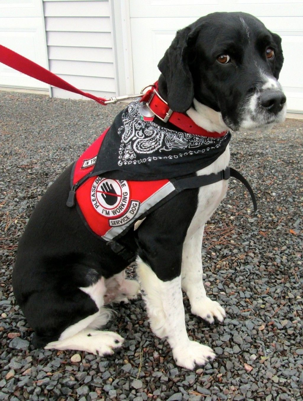 Please Do Not Make Your Dogs Pretend To Be Service Dogs Your Dog