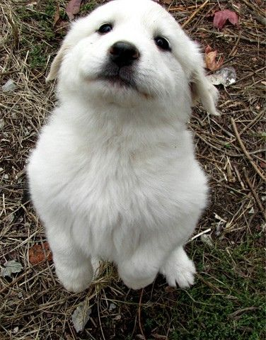 I Think I Have A New Home Great Pyrenees Great Pyrenees Puppy Great Pyrenees Dog