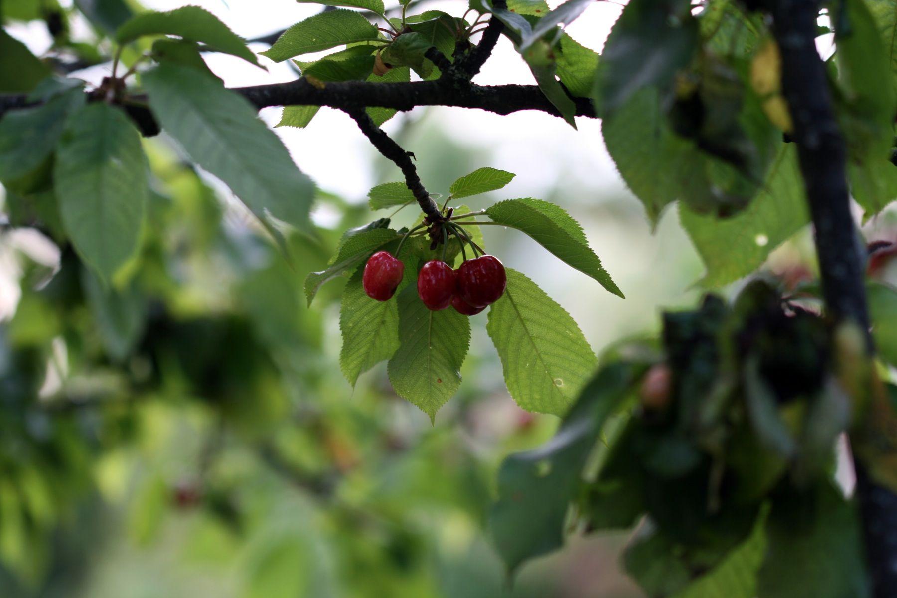 Equine Health Care In North Fl Gainesville Alachua Newberry Cherry Tree Cherry Tree Cherry Poisonous Plants