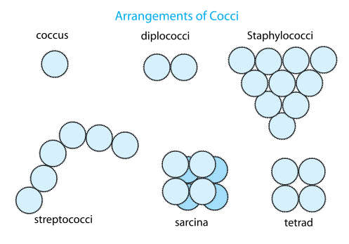 Cocci Arrangement Prokaryotic Cell Bacteria Microbiology