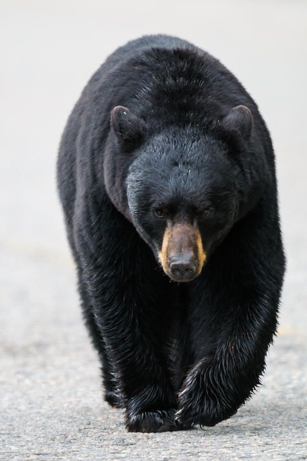 American Black Bear Photograph by Brandon Smith