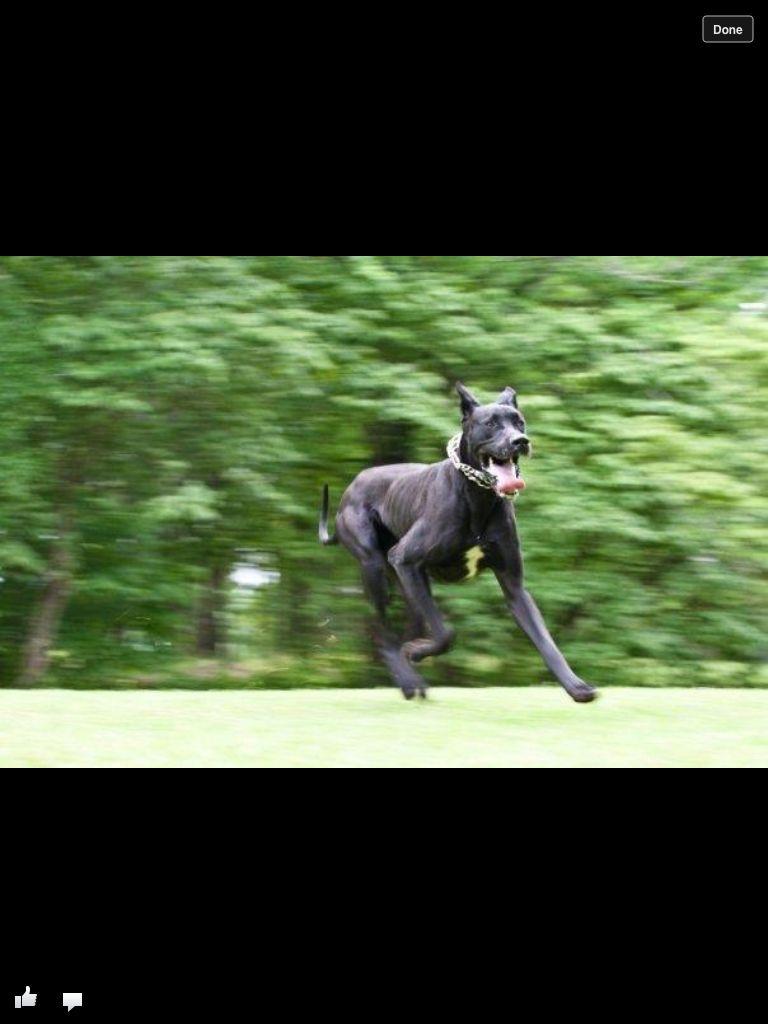 Great Dane Great Dane Dogs Dane Dog I Love Dogs