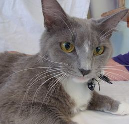 Adopt Bootsy On Cats Short Hair Cats Cats Kittens