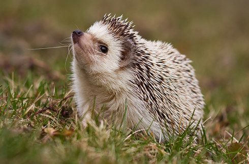 8 Ways Animals Are Already Being Affected By Climate Change In The Uk Cute Hedgehog Baby Hedgehog Hedgehog Pet