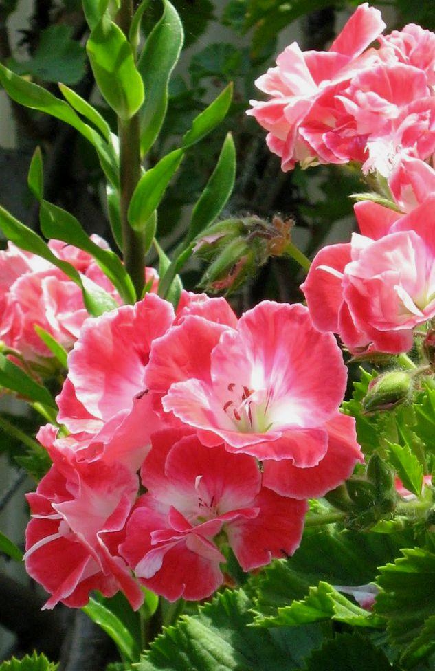 Drifting Through Life Sunday Selections 26 Beautiful Flowers Amazing Flowers Gladiolus Flower