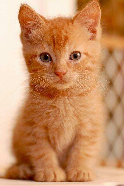 Long Haired Orange Kitten 3 It S So Fluffy Or The Best Operative From Being Trained In The Infamous Red Room Acade Cute Cats Kittens Cutest Cute Animals