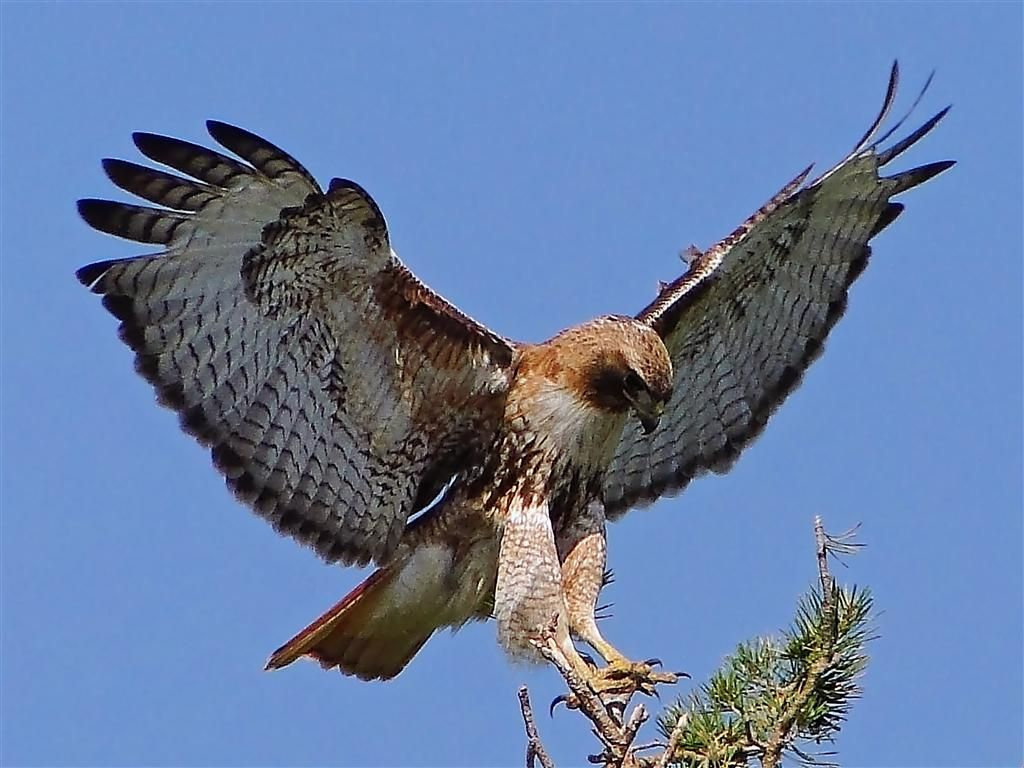 Red hawk | Red-tailed Hawk (Buteo jamaicensis) Female - landing on the top of a ...