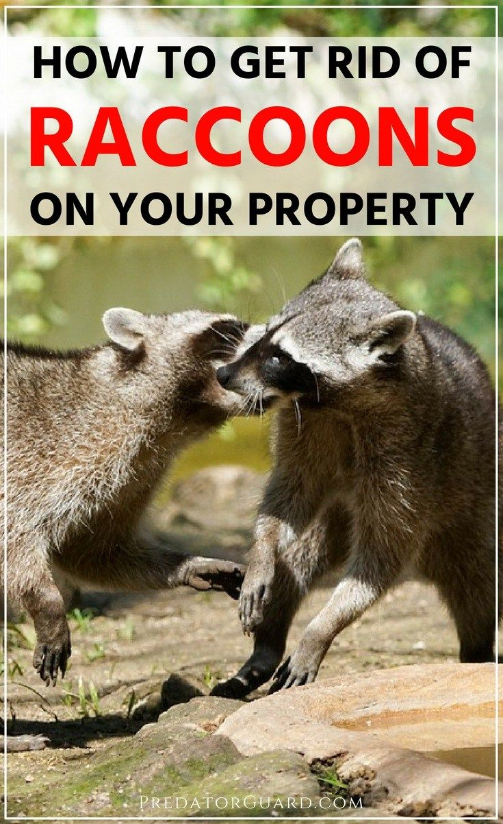 How To Get Rid of Raccoons   Getting rid of raccoons ...