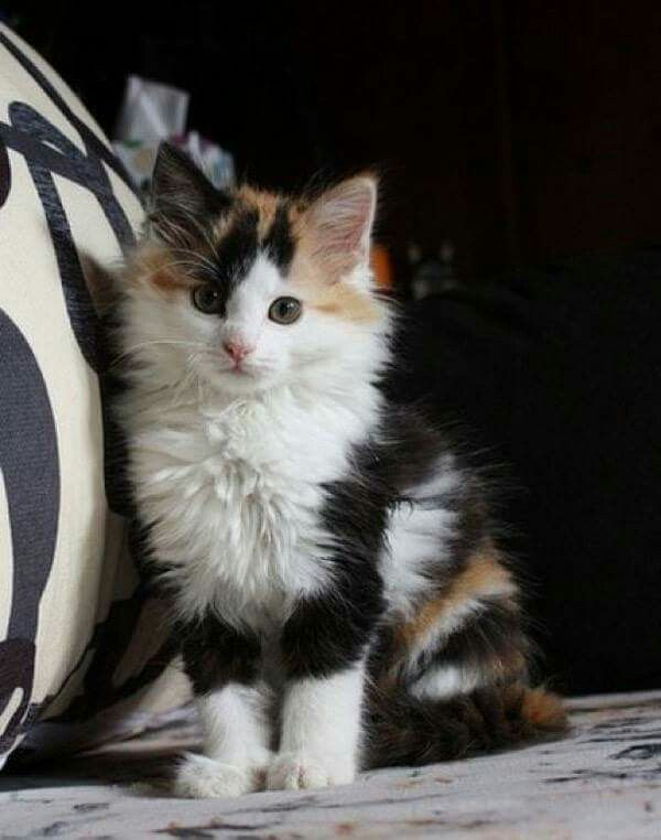 Here's Why Calico Cats Are the Coolest Kittens cutest