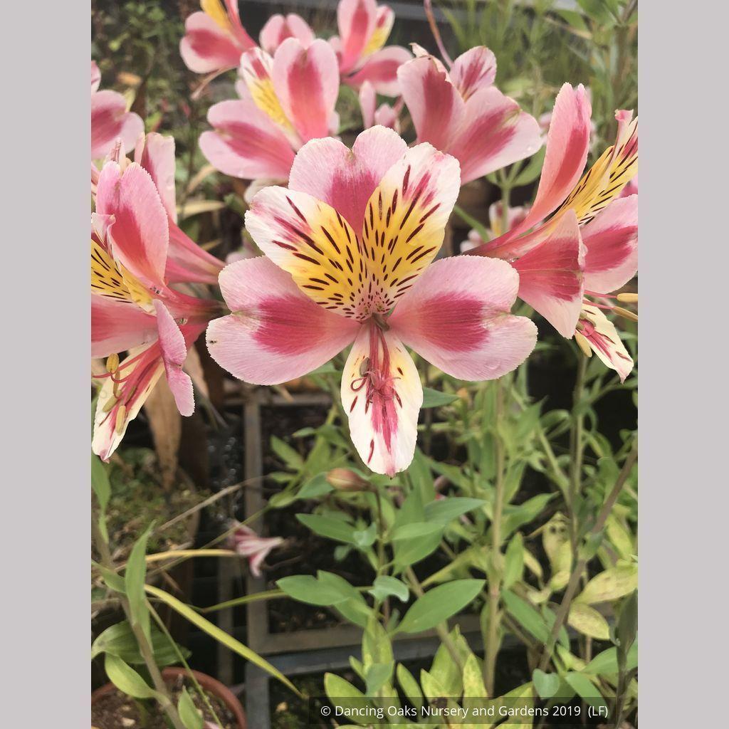 Alstroemeria Tricolor In 2020 Alstroemeria Light Pink Flowers Pink Flowers