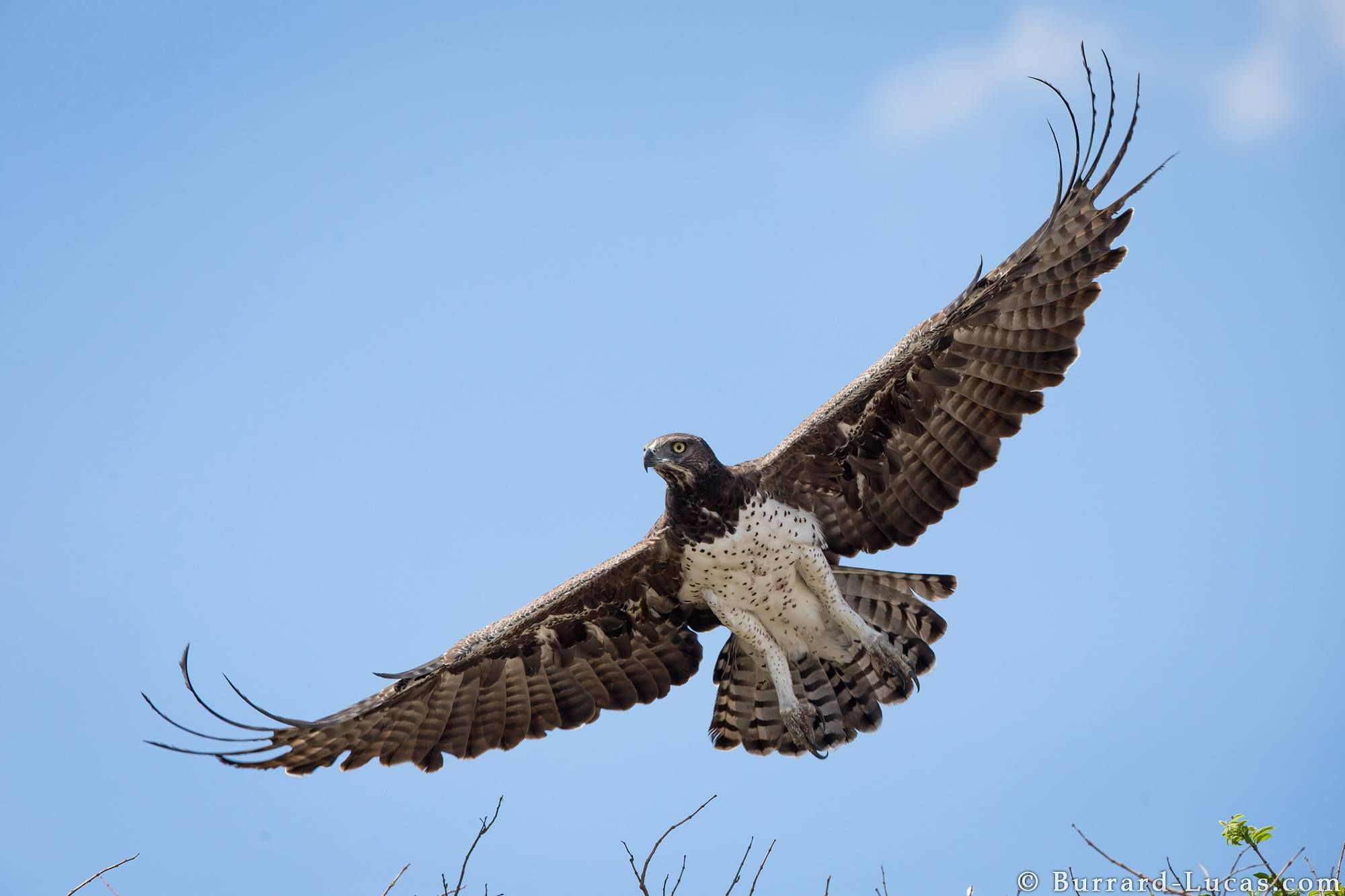A Martial Eagle Taking Flight Liuwa Plain Zambia Animals