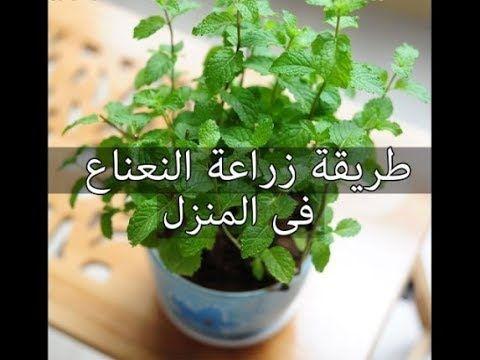 طريقة زراعة النعناع من حزمة نعناع من الخضري و كوب ماء فقط في اقل من 12 يوم Youtube Outdoor Flower Planters Plants Indoor Plants