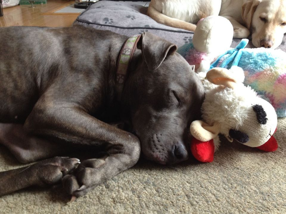 Adopted Storm Is Young 50 Lb Blue Staffordshire Bull Terrier