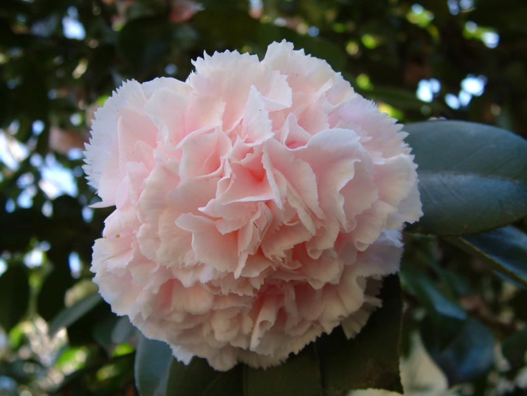 Camellia Japonica Quot Hawaii Quot Camellias Pinterest Hawaii Camellia Japonica Flowers
