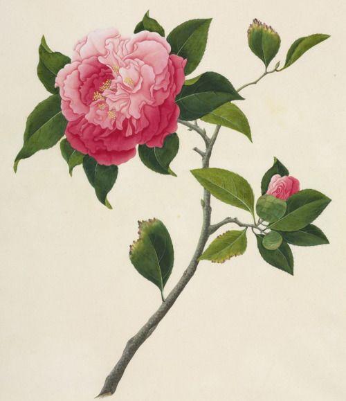 Camellia Tattoo Tumblr Botanical Illustration Botanical Art Floral Art
