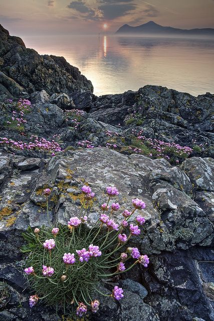 Sea Pinks at Sunrise by Pete Hyde on Flickr.