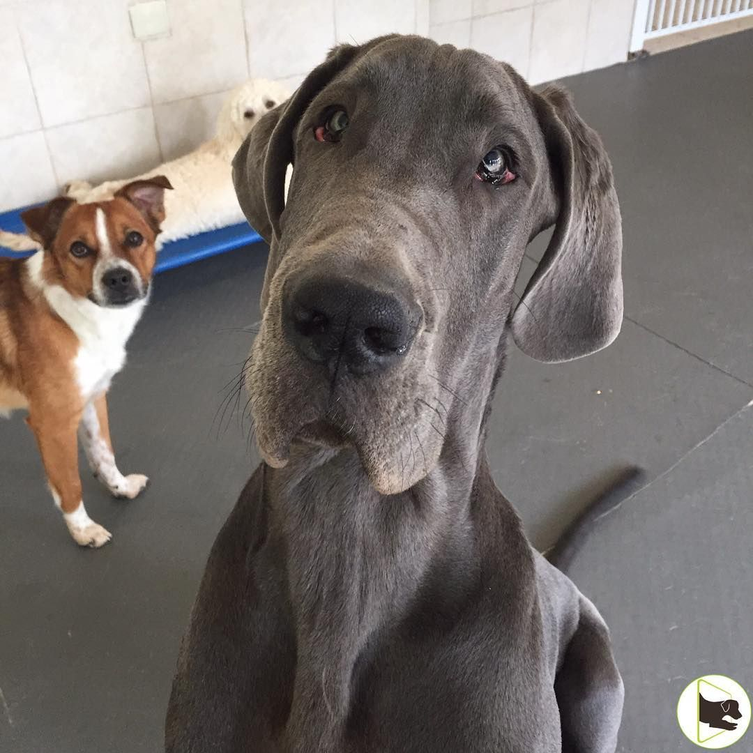 That Face Arthur The Great Dane Puppy Yes Puppy And Chip The