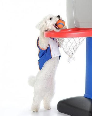 Bichon Basketball- hahaha they are so smart and funny & love the jersey