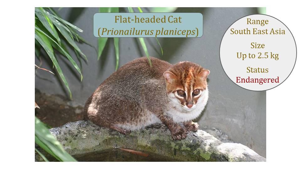 Flatheaded Cat (Prionailurus planiceps) Classification