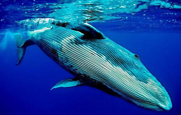 Las Ballenas Pueden Llegar A Los 37 M Y Pesar 200 Tm