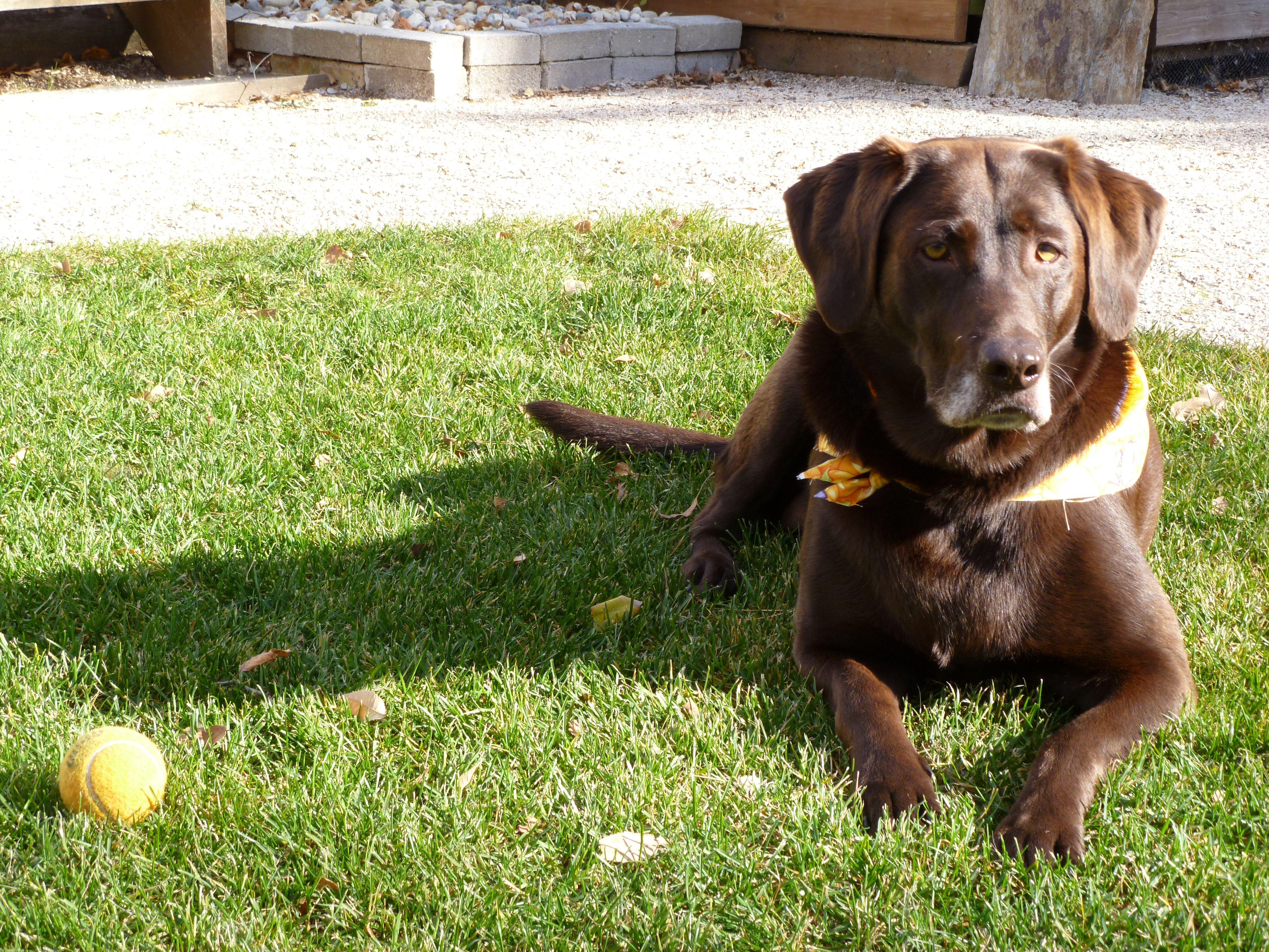 Not camera shy! Pets, Labrador retriever, Camera shy