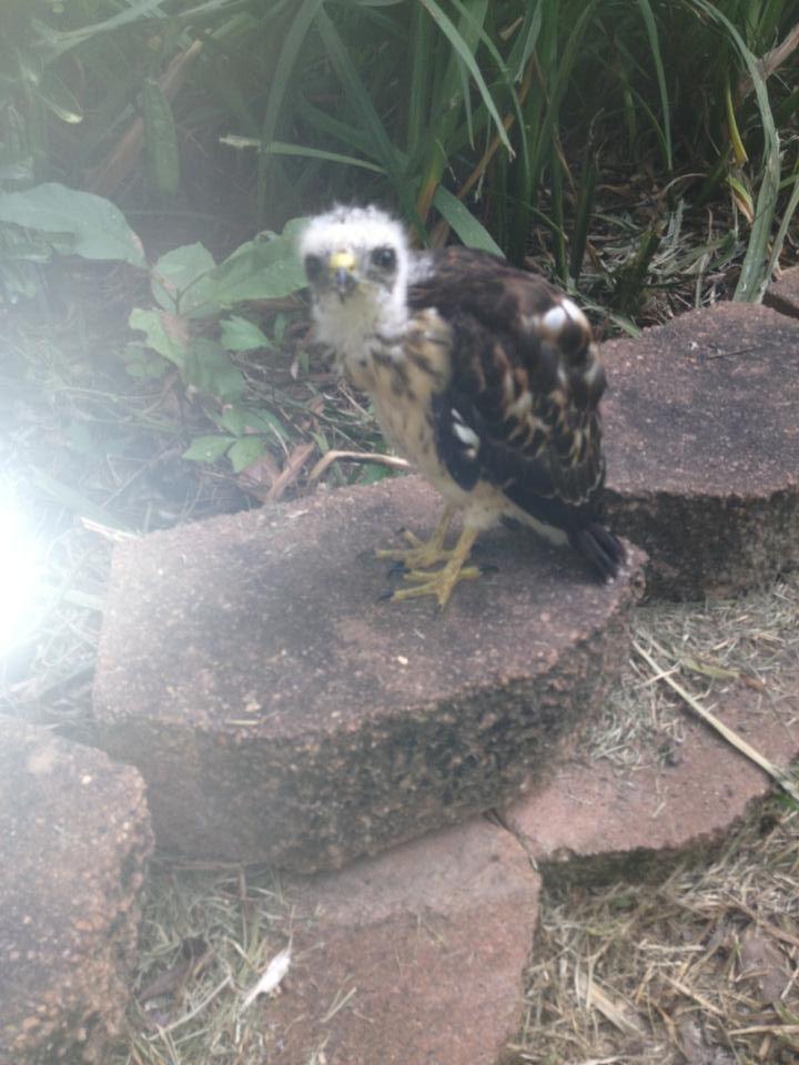 Baby Mississippi Kite Bald Eagle Wildlife Mississippi