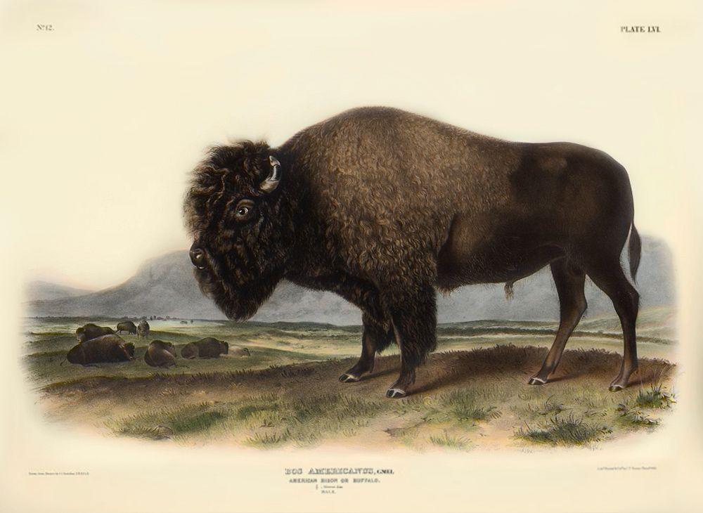 American Bison Audubon Photos Art Etc North