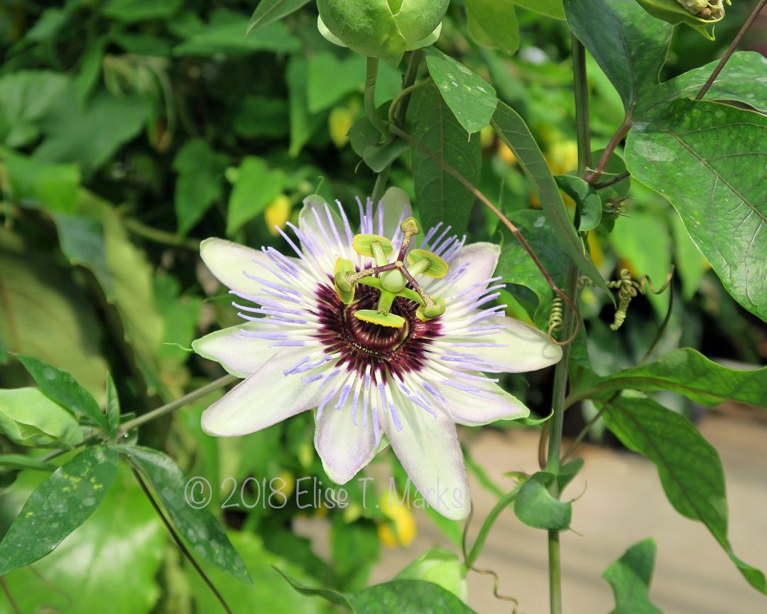 Passion Flower 5 Passion Flower Flowers Herbalism