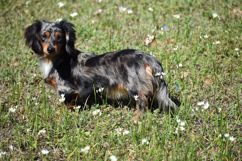 Long hair Black and Tan dapple miniature dachshund