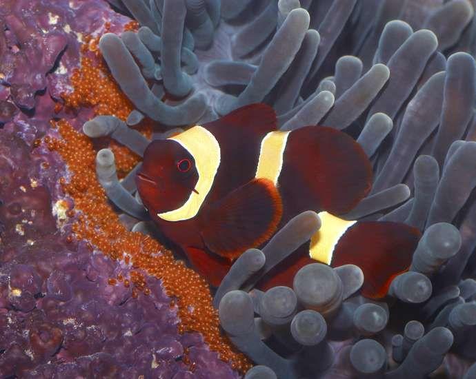 Gold Striped Maroon Clownfish Clown Fish Reef Aquarium Saltwater Aquarium