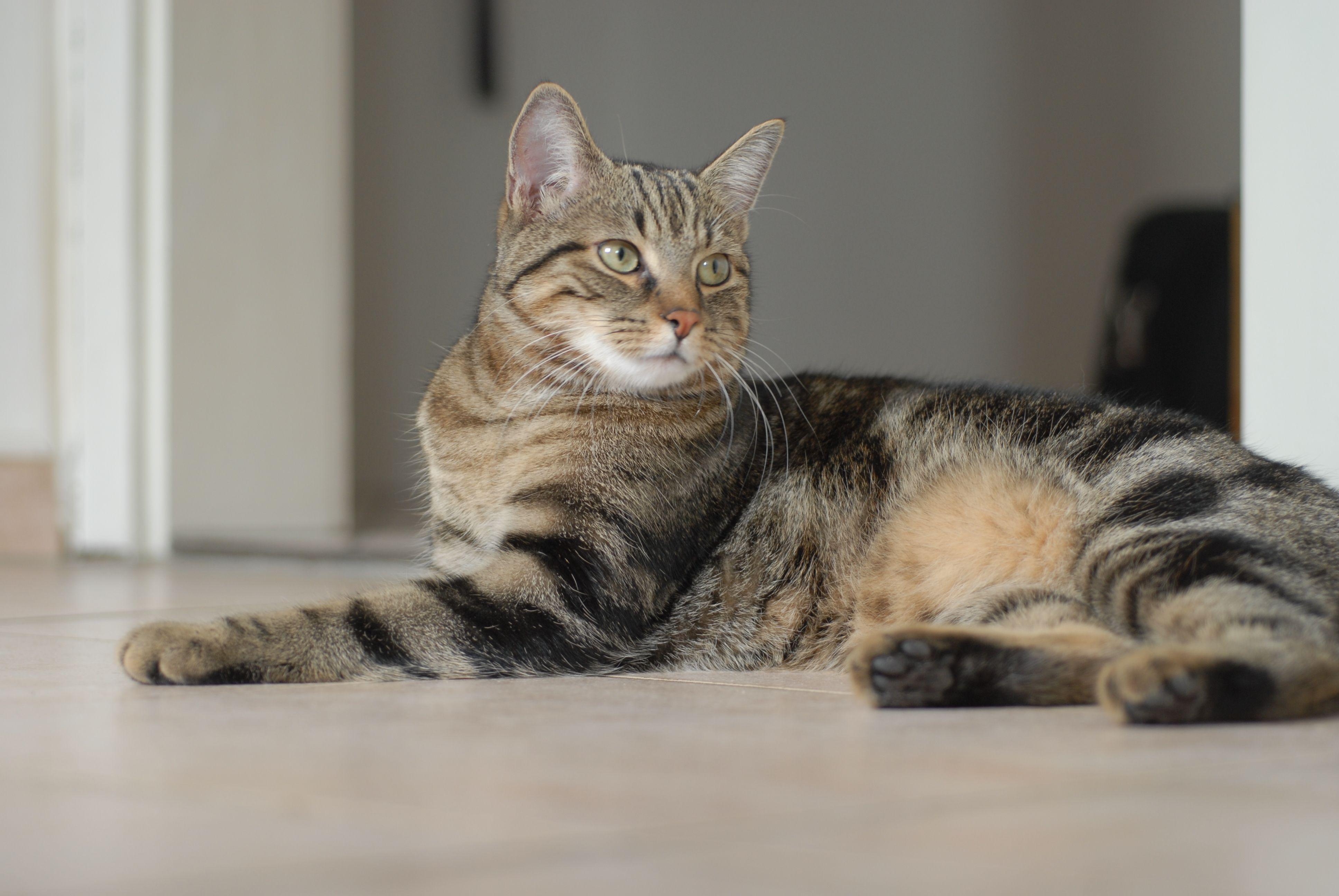 European Shorthair 고양이
