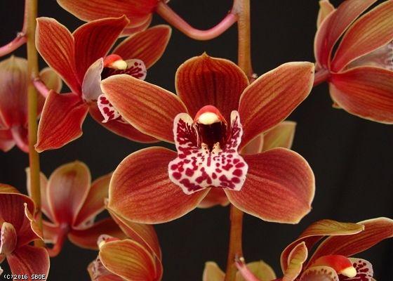Cymbidium Arts Chocolate Drop Orchids Orchid Photo Cymbidium Orchids