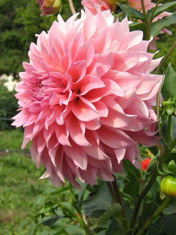 Details about  /GARDENER Pink