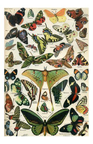 Papillons Print at Art.com