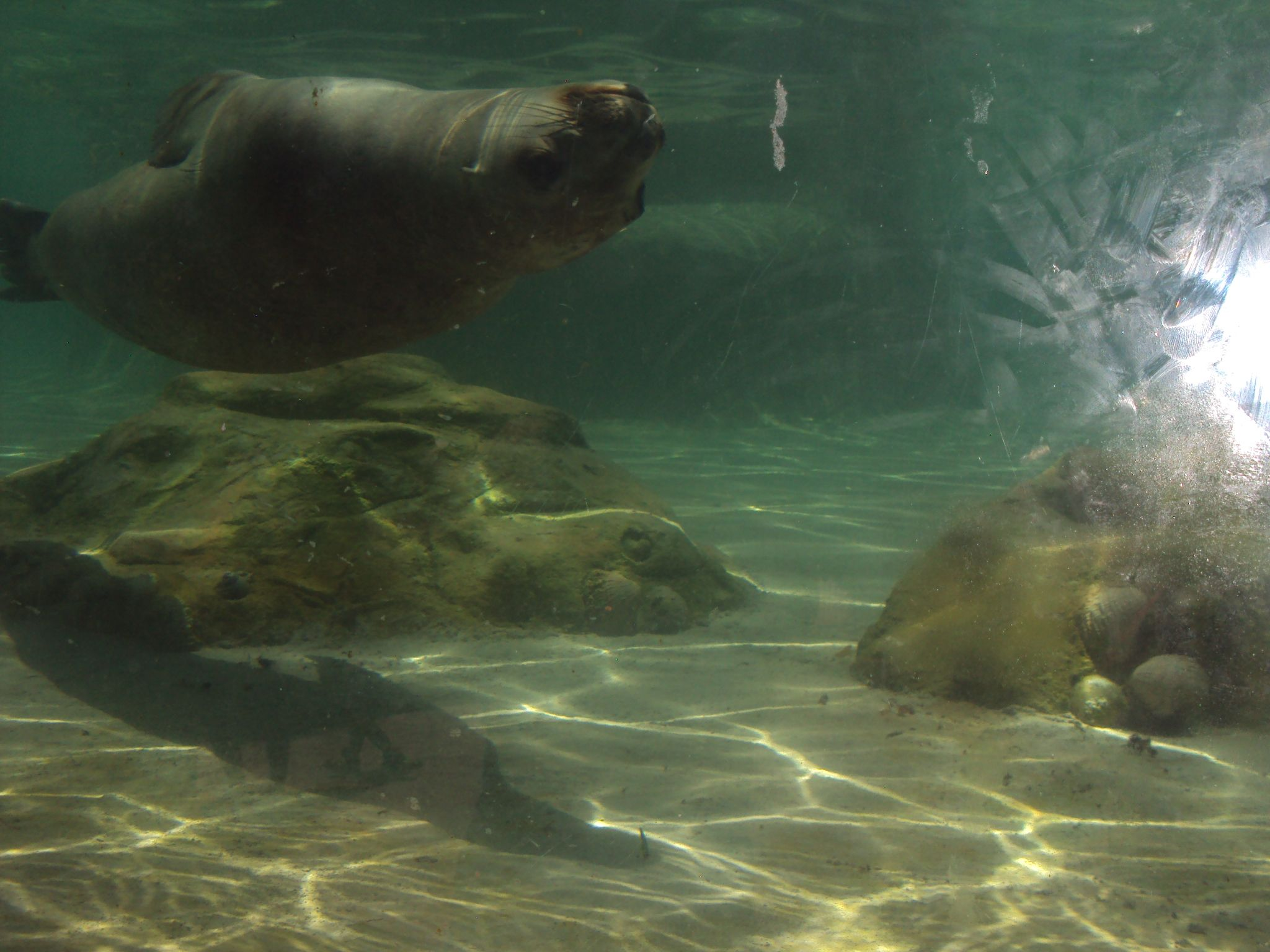 Este maravilloso león marino lo vi en el zoológico de Santiago de ...
