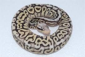 super pewter ball python - Google Search