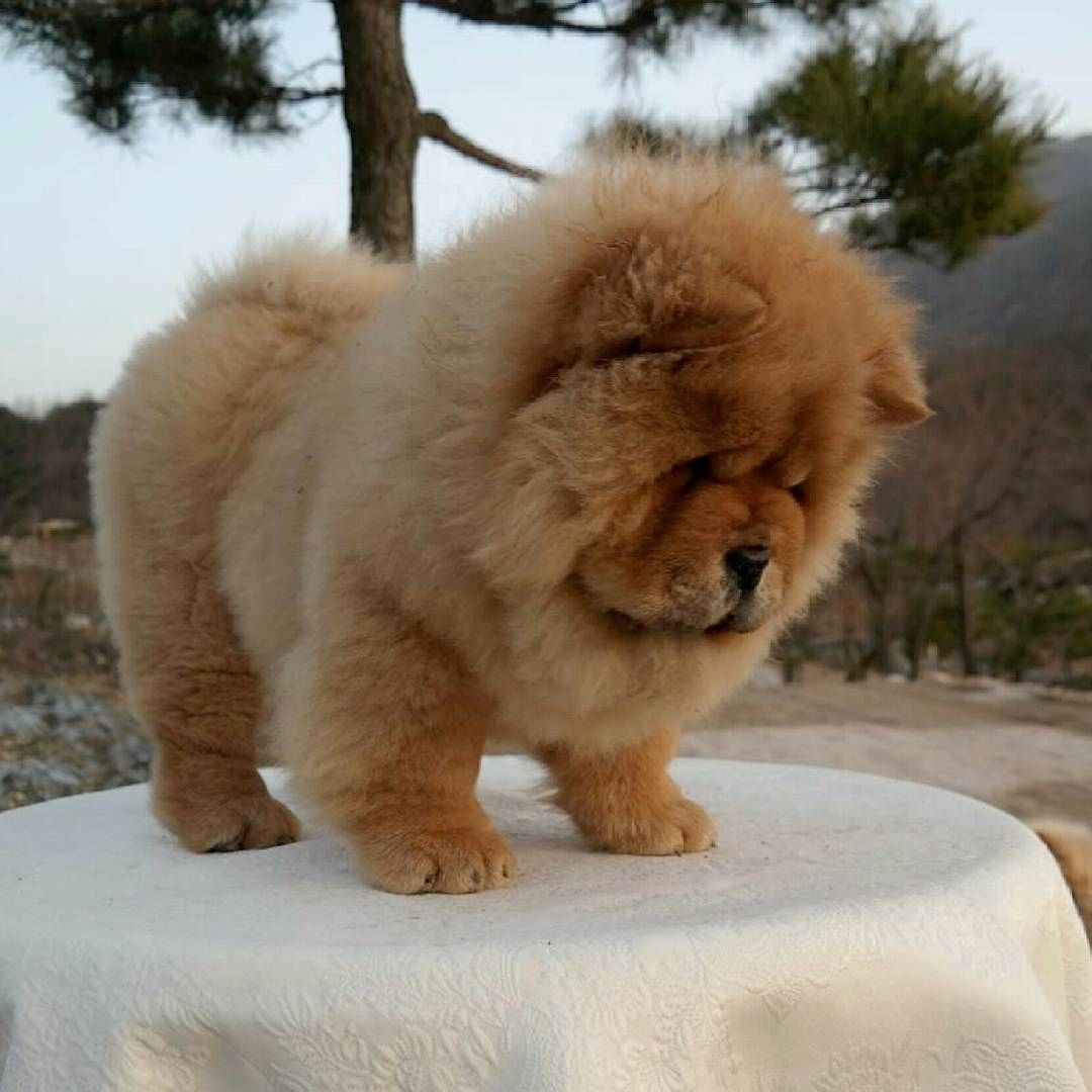 The Bear Chowchowdog Fluffy Dogs Chow Chow Puppy Baby Dogs
