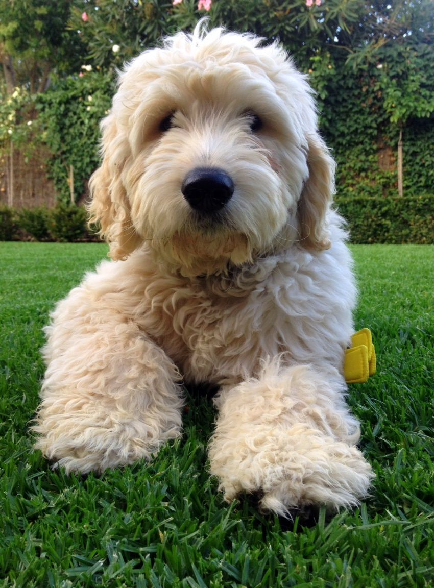 Ted the Groodle I want a puppy!! Pinterest Ted
