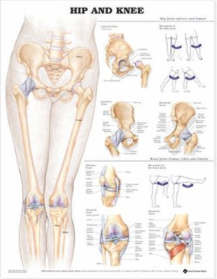 Hip And Knee Joints Structure And Function Material Pinterest