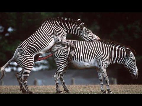 Zebra Mating Big Zebras Make Love Compilation Animal Mating